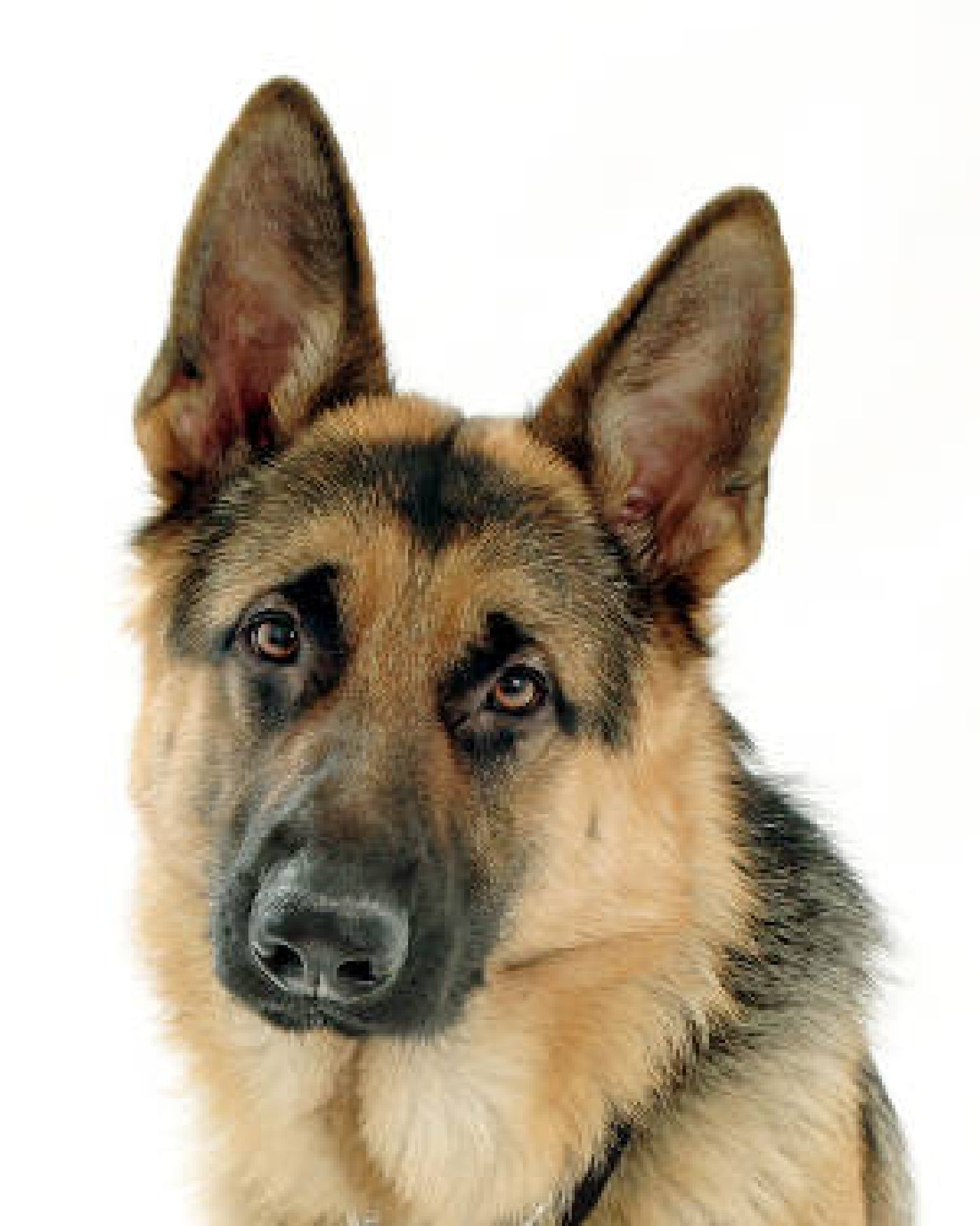 Image of a German Shepherd's face